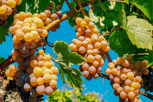 Les Français et les vins bio et labellisés en 2021 1